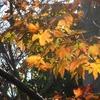 12月になった、小さな紅葉。