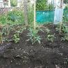 トマトの肥料効果を実験