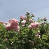 ピンクのイングリッシュローズ