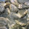 【番外編】超美味しい天然アサリを潮干狩りで獲るには?