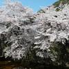 神戸)有馬温泉、桜めぐり。満開見ごろ。