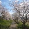 長曽川遊歩道(グリーンロード)のさくらがキレイ !