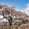 【花の福島2021】福島市・芳水の桜に会ってきました!