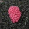 田植えの後、ピンクのジャンボタニシ卵と草枯らしの散布