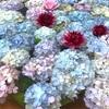 大阪であじさいが見たいなら長居植物園もおすすめ【ハートの紫陽花】