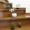 うちの盆栽たち