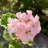 聖書の植物(7)ー「葡萄」