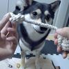【犬のしつけ】「出せ!(離せ)」「ちょうだい!」の練習~