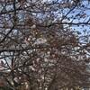 さくらとかチューリップが咲いたけどやっぱイタリアンバールペスカーラ