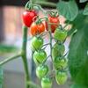 赤くなったミニトマトを鳥から守る簡単な方法