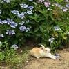 6月 うさぎ島(大久野島) 満開の種々の紫陽花の中の うさぎさん達、大久野島グラウンドにて