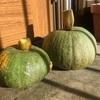 ひとはな農園「かぼちゃ収穫のポイント!」