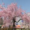 【ひとり花見】鶴舞公園の桜と思い出【ぼっち】