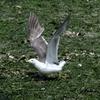 干潟を飛ぶウミネコ