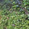 オオマルバノテンニンソウ  満開の頃は葉が虫食い。