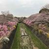 立川『お花見&子供たちと遊び』昭和記念公園(日常)