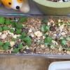 🌵多肉植物  秋の植え替え作業㊴🌵