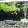 金魚水槽その3