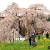 三春滝桜のライトアップが日本テレビ「真相報道バンキシャ!」で生中継されました!!
