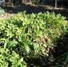 大根を収穫して冬季の大根の埋め戻し保存をやってみた。