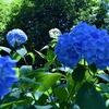 西脇 紫陽花祭り