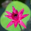 屋外で咲く熱帯スイレン