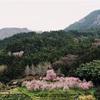 東温市の桜