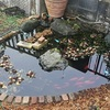 早春。池の越冬状況。ダルマメダカ水槽。ガトーショコラ。