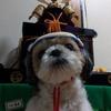 【今日のくーちゃん】今日は子供の日!兜を被って記念撮影♪