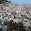 日最高気温が 25℃ 以上の夏日 半袖での『桜』花見と家族GOLF ⛳&🌸