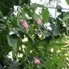小さな庭のバラ 2018  Ⅴ