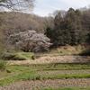 町田市 小野路の山桜