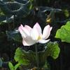 プノンペンの蓮(ハス)の花