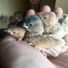 ヒナたちのおはなし 其の参 ‐アルビノ文鳥 と ホオグロ文鳥‐