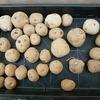 スナップエンドウに続いてジャガイモの植え付けも完了!