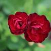 紫陽花の季節の薔薇