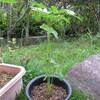 8/21 夏オクラ植えてみました。 11日目