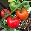 超〜初心者の家庭菜園「トマト収穫」食べた瞬間に「?」
