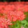 深紅の絨毯広がる巾着田周辺を里山ハイク @日和田山・物見山