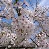 4月12日(木)お花見③