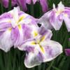 相模原公園、花菖蒲(ハナショウブ)の花 その2(2021年5月28日)