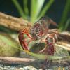 アメリカザリガニ Procambarus clarkii