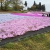 【芝桜の丘】埼玉県秩父の羊山公園の芝桜まつり