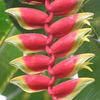 今日の誕生花「ヘリコニア ロストラタ」印象的なエキゾチックの花は、一度見れば忘れられません!
