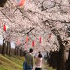 ようやく富山でも開花宣言:花より男子、いや団子