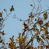 手賀沼遊歩道の疎林のツグミ