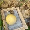 メロンの収穫(一個目)