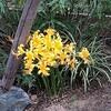 ヒガンバナ(彼岸花、石蒜、学名 : Lycoris radiata)