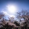 上野公園で桜(今シーズン2回目)を撮ってきました!