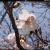 【桜の香り】成分がもたらす効果とは。